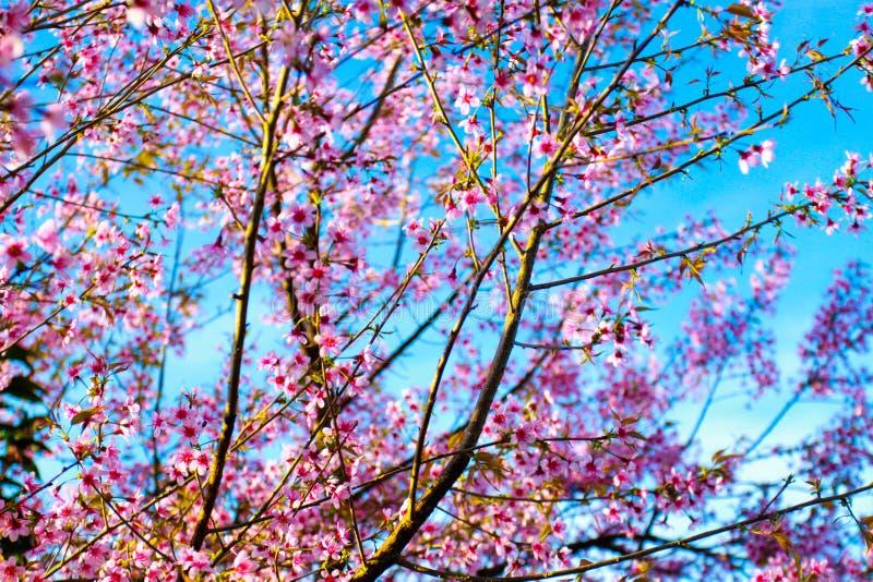 佐仓或樱花在蓝天背景 库存照片