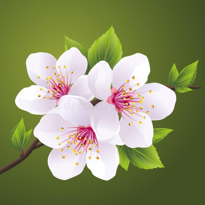 佐仓-樱桃树进展的分支  向量例证
