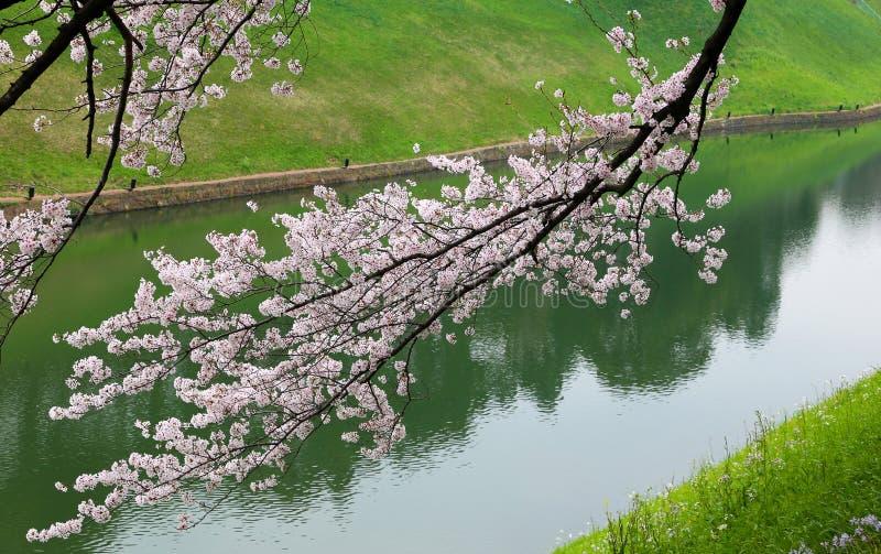 佐仓樱花在河附近分支 免版税库存照片