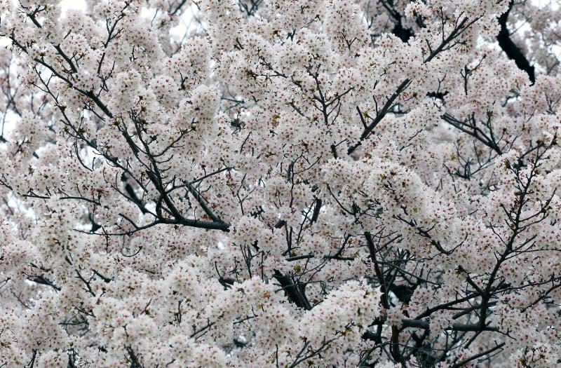 佐仓白色樱花背景 免版税图库摄影