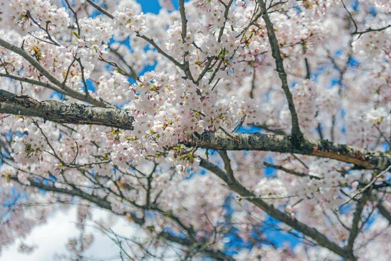 佐仓,白色开花在日本 库存图片