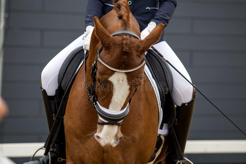 体育棕色马的画象 乘坐在马 Thoroughbre 免版税库存照片
