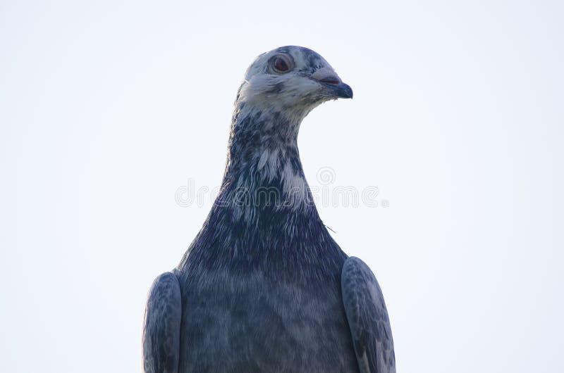 体育邮政鸽子是灰色的 特写镜头纵向 图库摄影