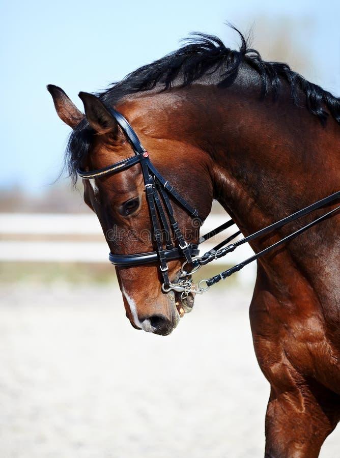 体育马的画象。 库存图片