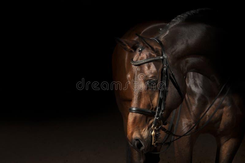体育驯马马的画象 免版税库存图片