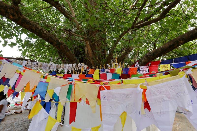 佛教Bodhi树在康提斯里兰卡 库存照片