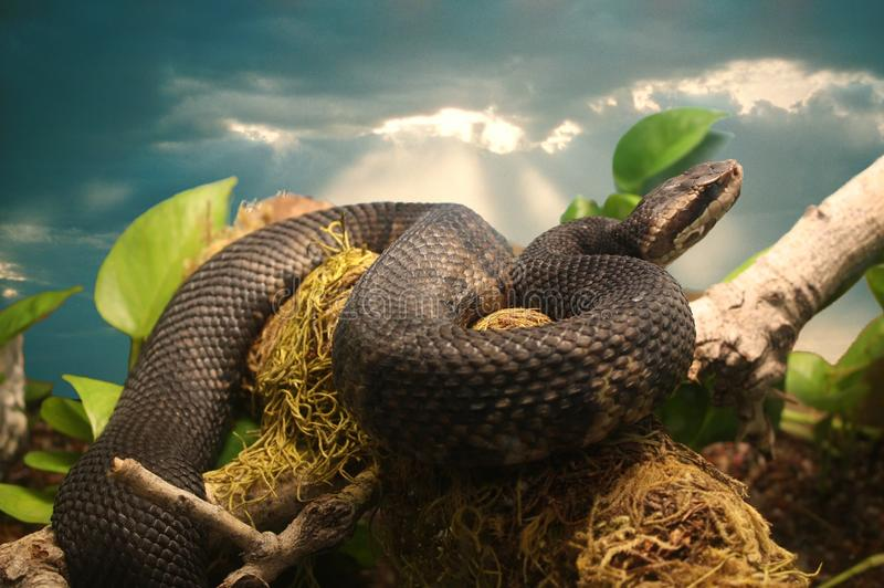 佛罗里达棉口蛇或水蝮蛇坑蛇蝎 库存照片