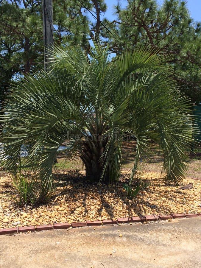 佛罗里达棕榈树 免版税库存照片