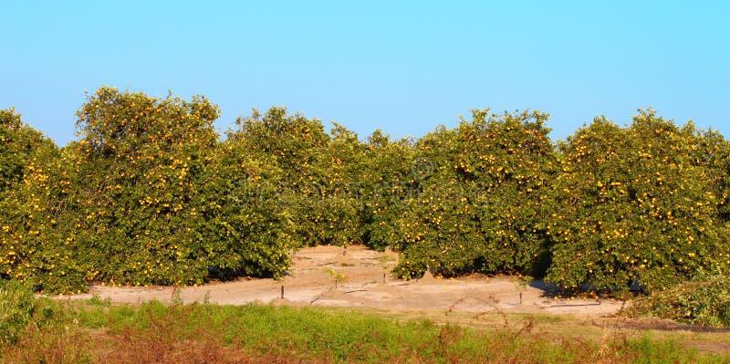 佛罗里达橙色树丛全景 免版税库存图片