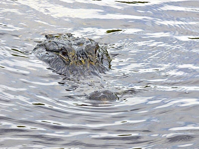 佛罗里达汽船旅行,在沼泽地中,在小船附近的鳄鱼 图库摄影