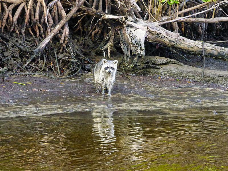 佛罗里达汽船旅行,在沼泽地中, 库存照片