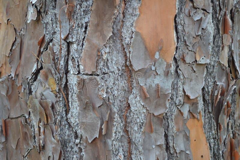 佛罗里达深砍杉树吠声 免版税库存图片
