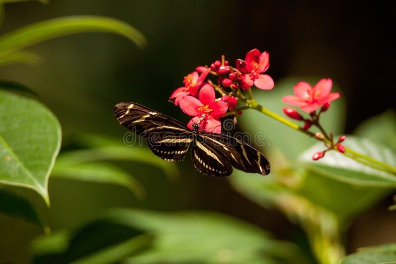 佛罗里达状态蝴蝶longwing的斑马,Heliconius charitonia 免版税图库摄影