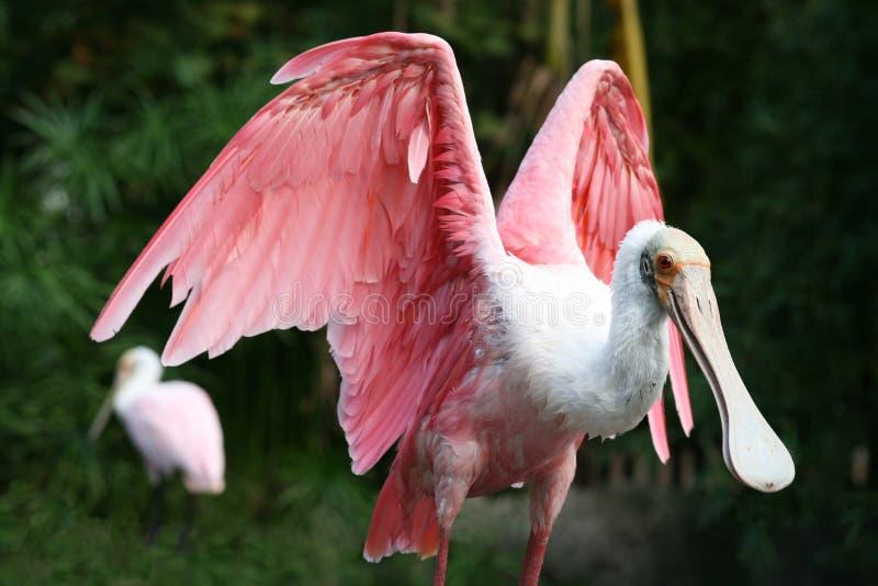 佛罗里达粉红琵鹭 库存图片