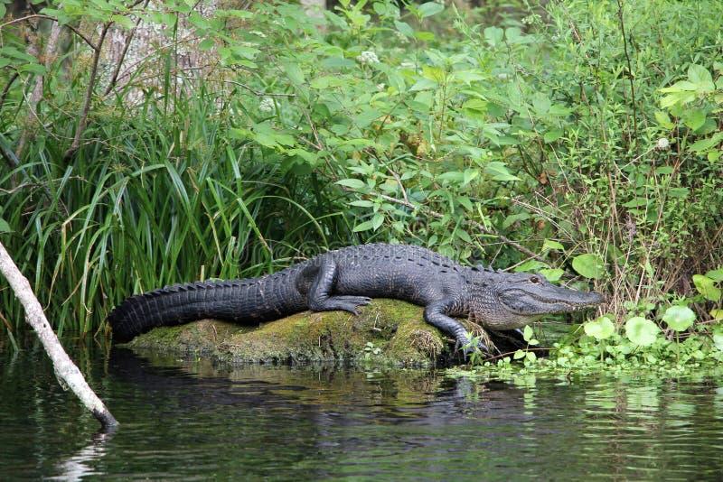 佛罗里达鳄鱼 图库摄影