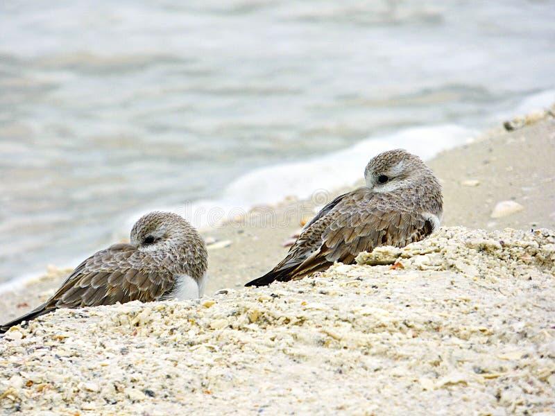 佛罗里达,马德拉岛海滩,两只小鸟休息紧贴和接近在海滩 库存照片