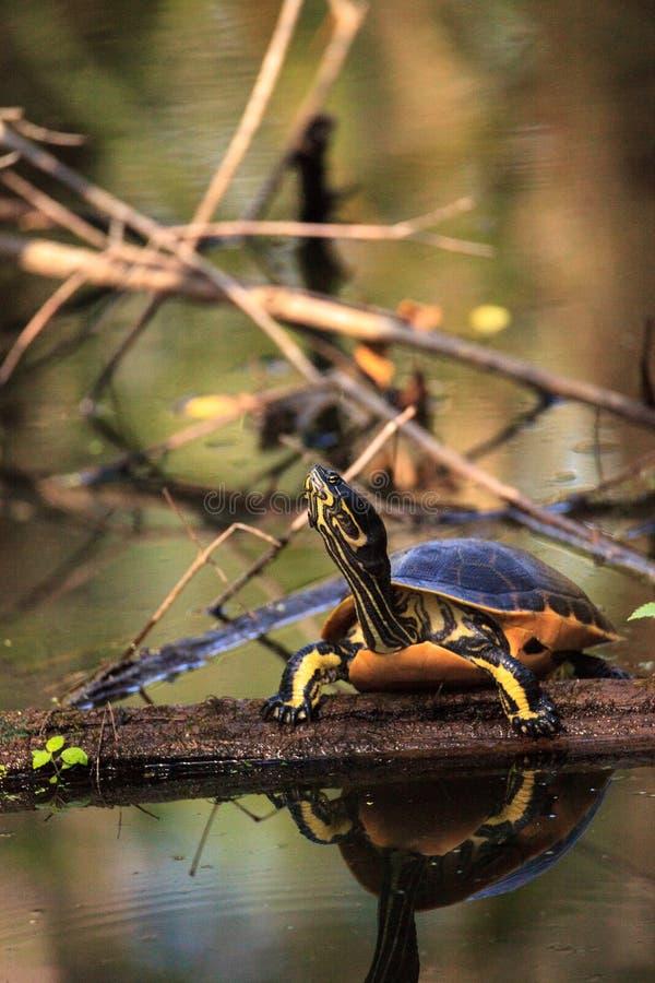 佛罗里达redbelly乌龟Pseudemys纳尔逊在柏lo栖息 图库摄影