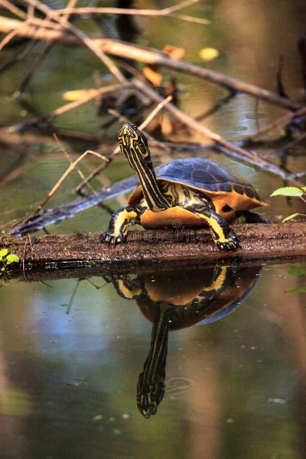 佛罗里达redbelly乌龟Pseudemys纳尔逊在柏lo栖息 免版税库存照片