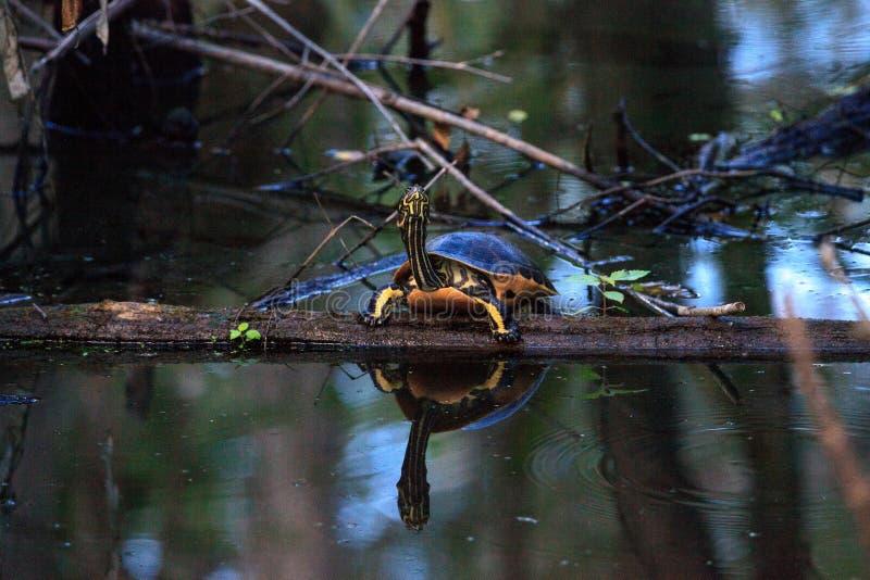 佛罗里达redbelly乌龟Pseudemys纳尔逊在柏lo栖息 免版税图库摄影