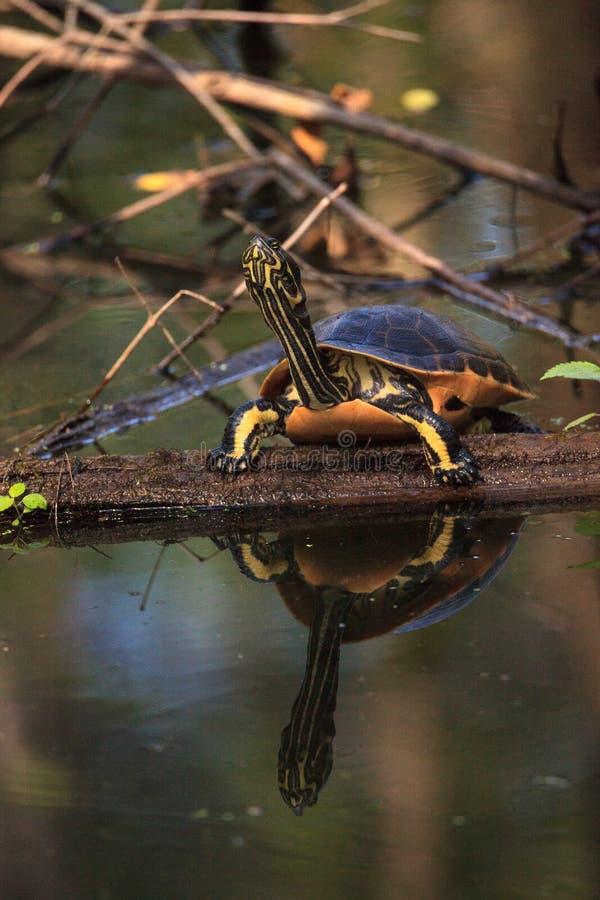 佛罗里达redbelly乌龟Pseudemys纳尔逊在柏lo栖息 免版税库存图片