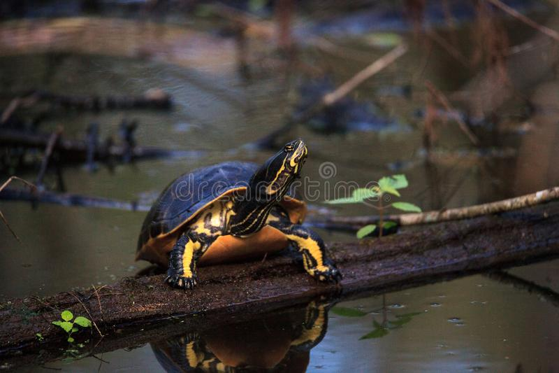 佛罗里达redbelly乌龟Pseudemys纳尔逊在柏lo栖息 库存图片