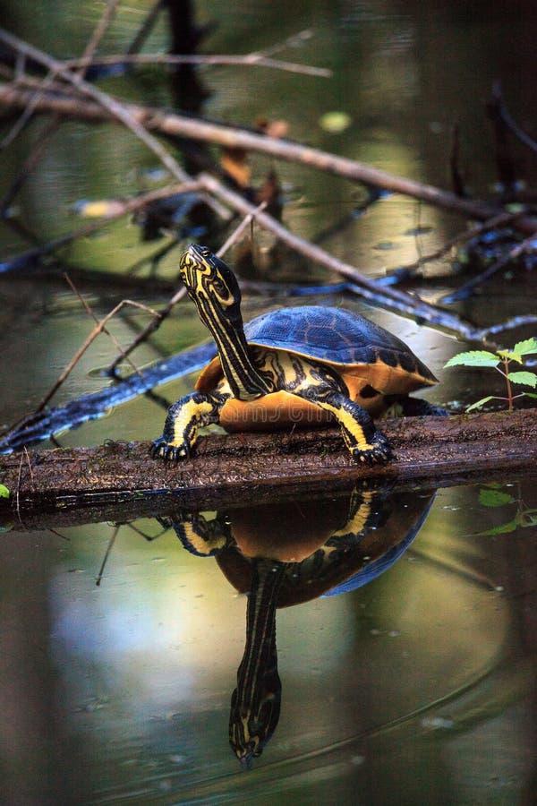 佛罗里达redbelly乌龟Pseudemys纳尔逊在柏lo栖息 库存照片