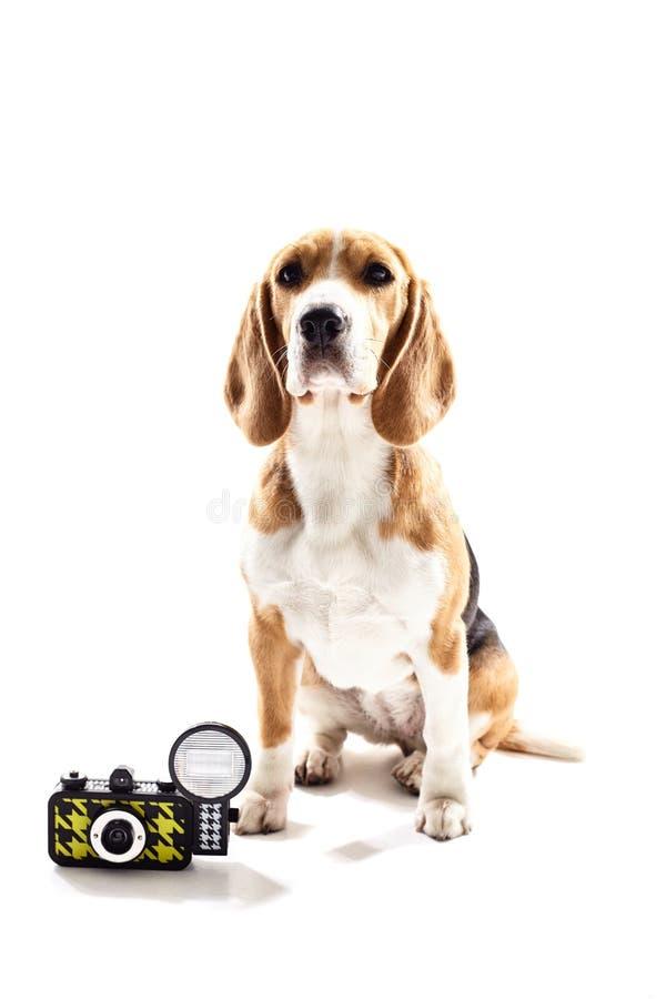 作为一位专业摄影师的快乐的小猎犬小狗 免版税库存照片
