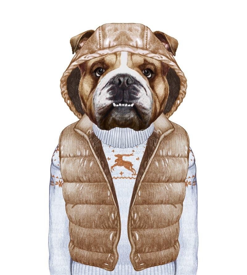 作为人的动物 在下来的英国牛头犬授予和毛线衣 库存例证