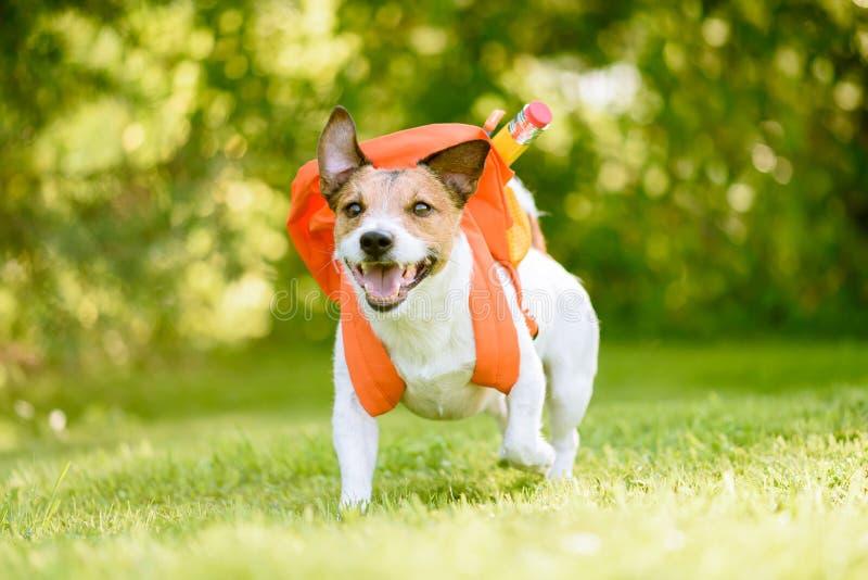 作为充分回到有背包的学校的滑稽的男小学生的狗学校用品 免版税库存图片
