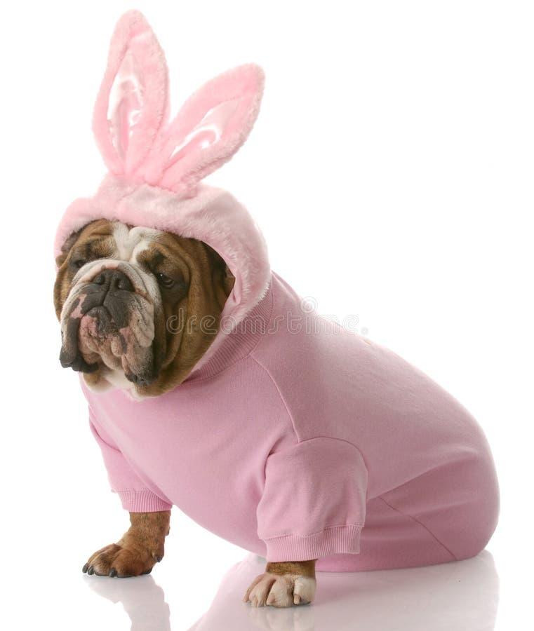作为兔宝宝狗穿戴的复活节  库存照片