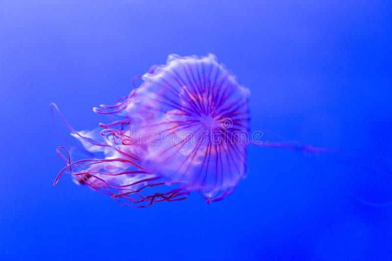 作为北海荨麻,柯桠素melanaster的水母kwown 库存图片