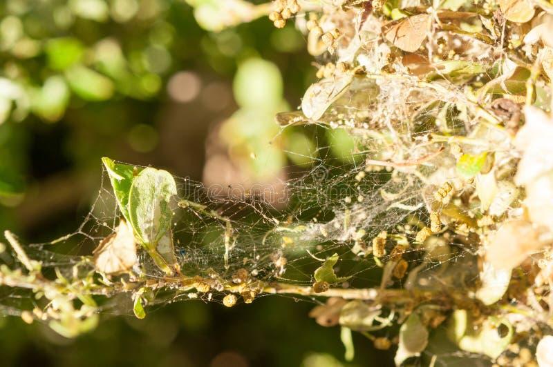 作为吃黄杨属叶子的虫的毛虫 库存图片