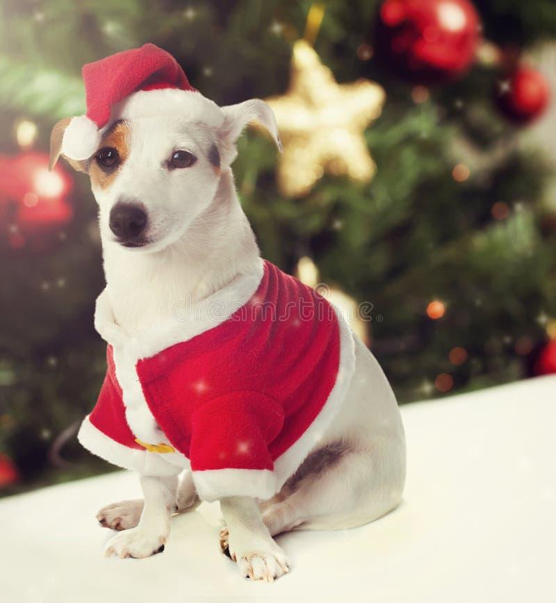 作为圣诞节题材的圣诞老人穿戴的狗 图库摄影