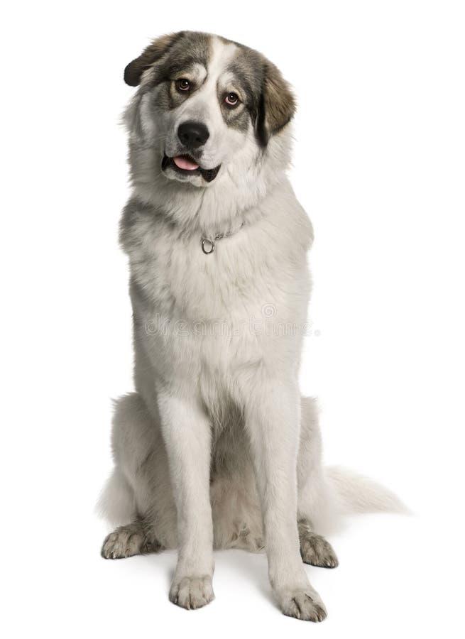 作为狗极大的已知的山比利牛斯山脉&# 免版税图库摄影