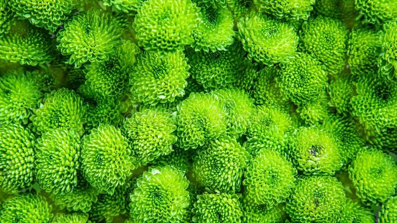 作为背景画面的美丽的绿色菊花 菊花墙纸,菊花在秋天 图库摄影