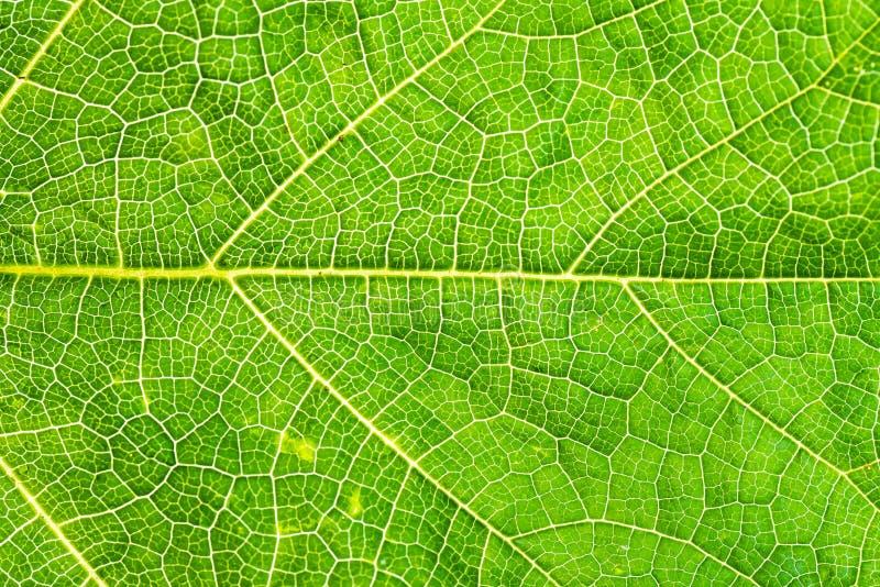 作为背景的新和绿色树叶子纹理 免版税库存图片
