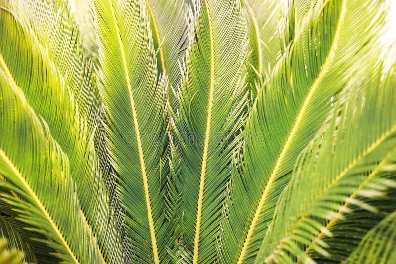 作为背景的特写镜头被日光照射了热带自然棕榈叶 图库摄影