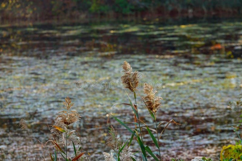 作为背景的秋天芦苇美丽的芦苇在有风湖 库存照片