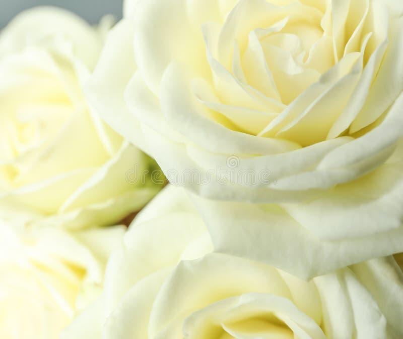 作为背景的美丽的新鲜的白玫瑰 免版税库存照片