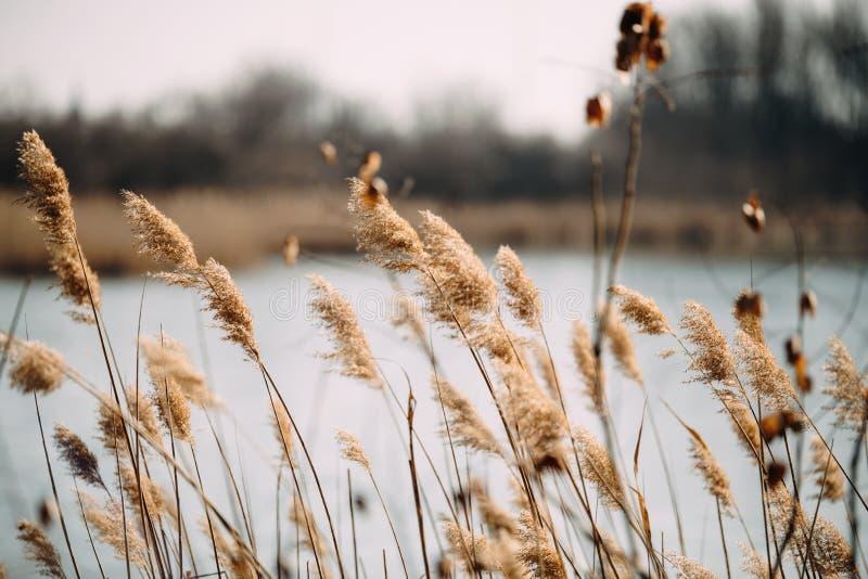 作为背景的美丽的芦苇在有风湖 免版税库存图片