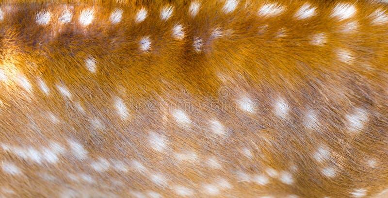 作为背景的美丽的sika鹿毛皮 免版税库存图片