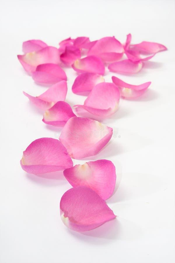 作为道路的桃红色玫瑰花瓣 免版税库存照片