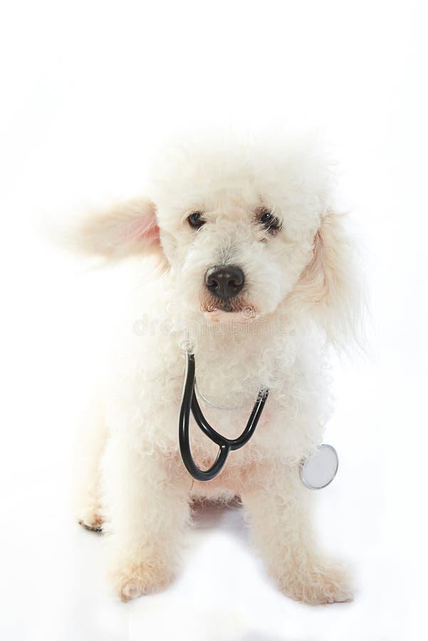 作为医生的白色狗 免版税库存照片