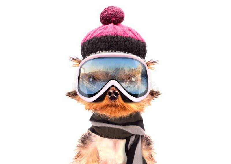 作为滑雪者穿戴的狗 图库摄影