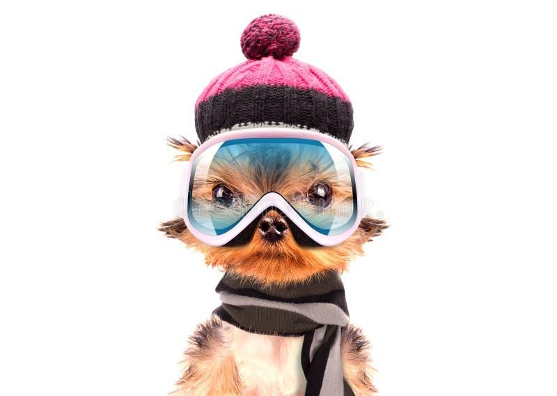 作为滑雪者穿戴的狗 库存图片