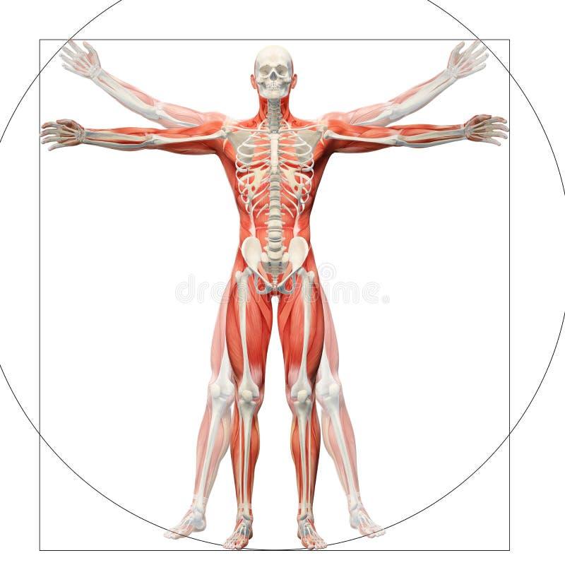 作为vitruvian人被显示的人的解剖学 向量例证