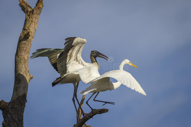 作战在栖息处的木鹳和伟大的白鹭 免版税图库摄影