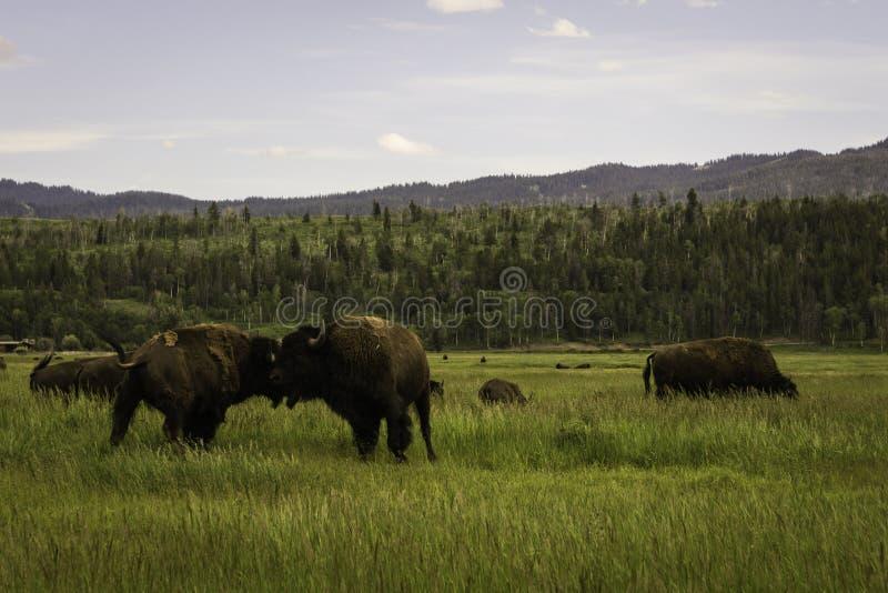 作战的北美野牛 库存图片
