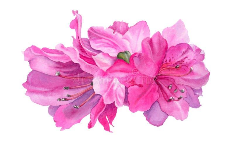 作者开花i绘画照片水彩 明亮的桃红色杜娟花 向量例证