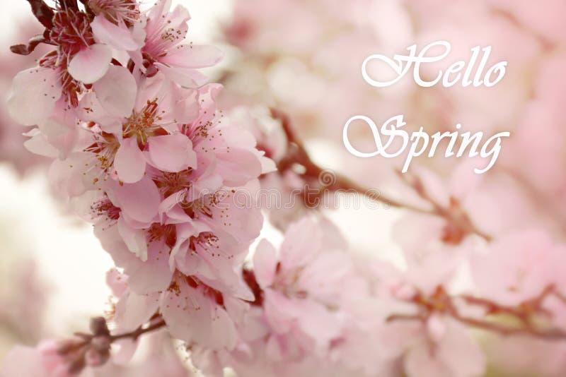 你好春天卡片 一棵开花的杏树的分支 背景横幅开花表单少许桃红色螺旋 库存照片